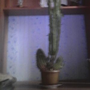 продам кактус молочай