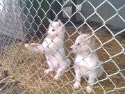 продаются щенки западно-сибирской лайки