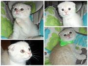 Продам котенка Шотландский вислоухий фолд