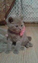 Продаю шотландских плюшевых котят
