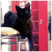 Котята породы Мейн кун.